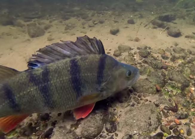 Lov okounů na rybičku