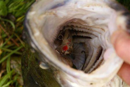 Vaše úlovky - okounovité čudly