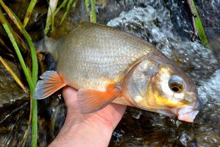 Říční rybky na feeder( tloušti,podoustve)