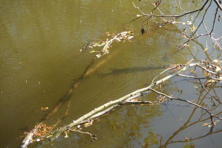Štiky ve vodě