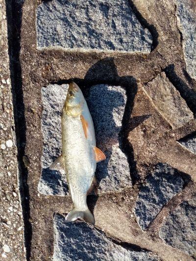 Bolen Labe 44cm slider červeno bíli