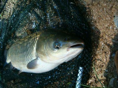 kaprovité rybky
