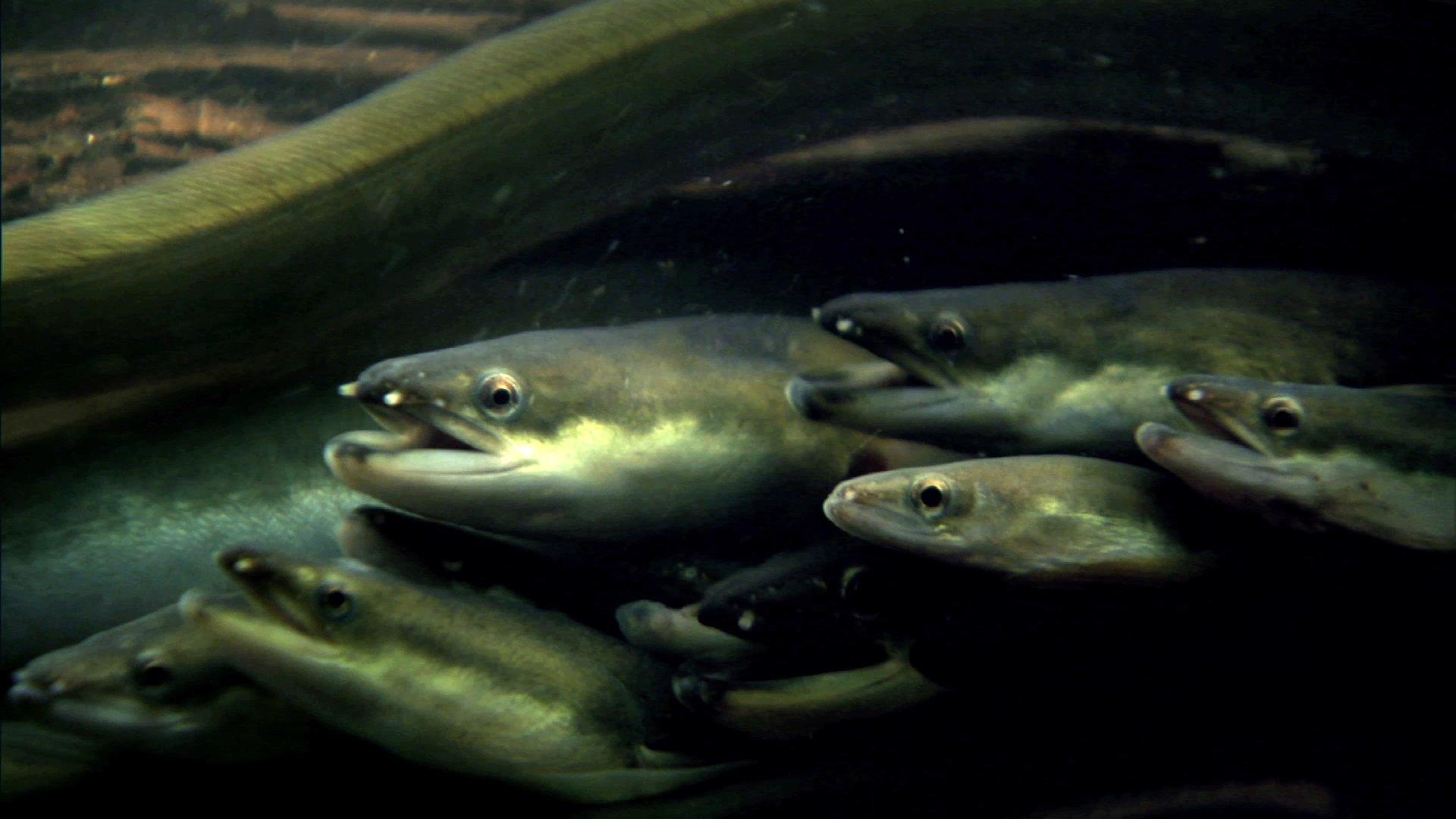 4b61f032b8b4 Ryby cestují mnohem více i častěji